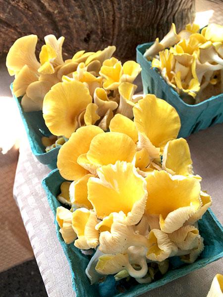 Golden_Oyster_Mushrooms