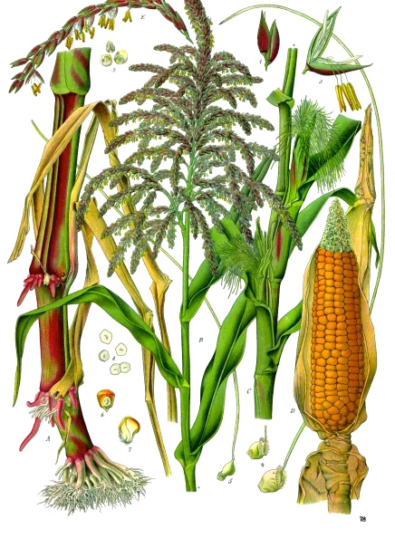 corn_Zea_mays_-_Köhler–s_Medizinal-Pflanzen-283