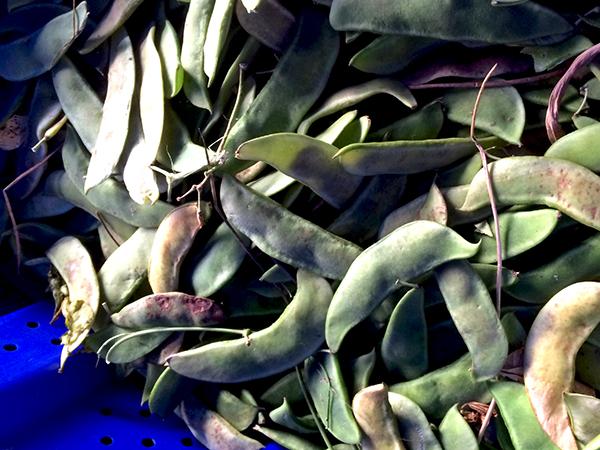 lima_beans_Greenmarket