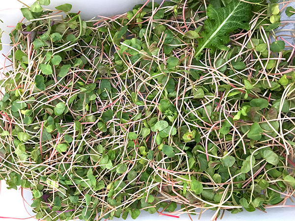 micro_buckwheat_greens