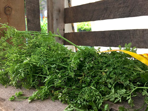 chervil_blossoming