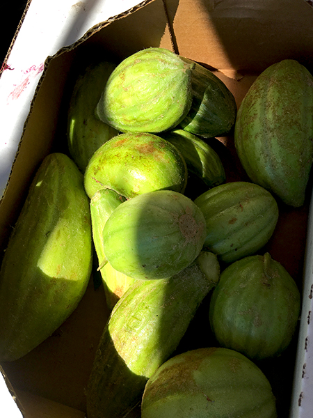 Barese_cucumbers