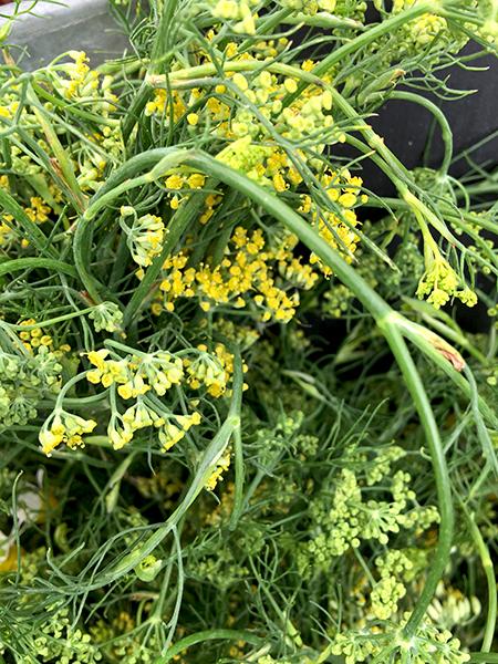 fennel_flowers