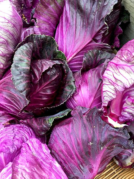 purple_cabbage_tamarack